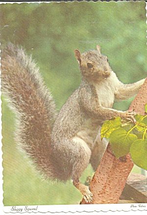 Grey  Squirrel on a Branch (Image1)