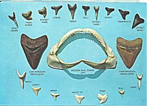 Sharks Teeth Found Along Florida Coasts cs8831 (Image1)