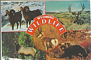 Wyoming Wildlife Bear Big Horn Sheep Antelope  cs9005 (Image1)