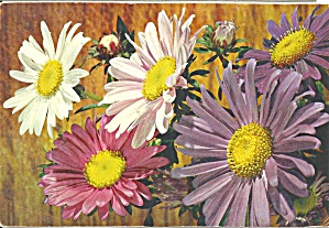 China Aster Postcard cs9102 (Image1)