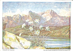 Edelweiss with Zugspitze From a Painting Postcard cs9368 (Image1)