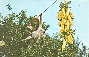 Tiki Gardens Indian Rocks Beach FL The Monkey Chico cs9629 (Image1)
