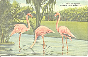 Rare Bird Farm,miami Fl Flamingos Postcard Cs9661 1940