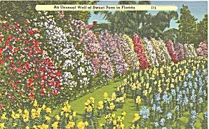 Florida Unusual Wall of Sweet Peas cs9663 (Image1)