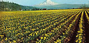 Mt Ranier and Daffodils in the Puyallup Valley WA lp0475 (Image1)