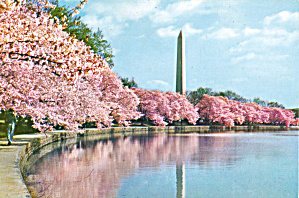 Washington Monument With Cherry Blossoms Washington Dc Lp0523
