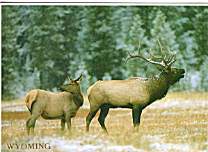 Bull Elk with Cow Elk Large Postcard (Image1)