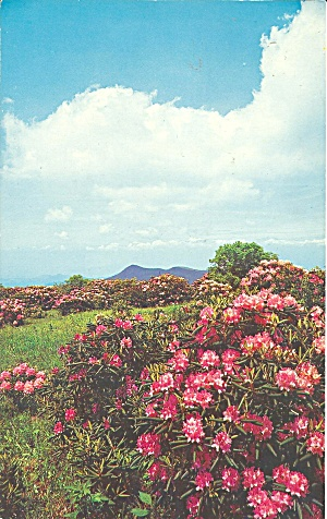 Craggy Gardens Rhododendron,Blue Ridge Parkway,NC (Image1)