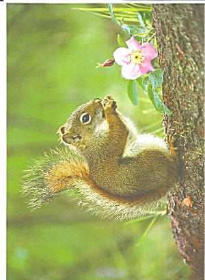 Red Squirrel Large Postcard Lp0700