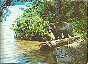 Black Bear Young Cub Large Postcard Lp0704