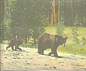 Yellowstone National Park Mother Bear and Cub lp0714 (Image1)