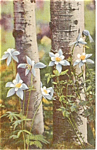 Colorado Columbines Postcard (Image1)