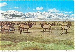 Jackson Hole Wyoming Elk Herd Postcard n0357 (Image1)