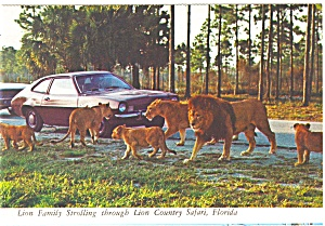 Lion Country Safari FL  Lion Family Postcard n0358 (Image1)