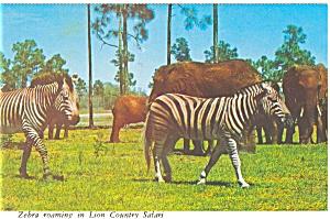 Lion Country Safari FL Zebras Postcard n0359 (Image1)