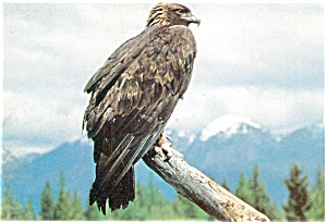 Golden Eagle  Postcard (Image1)