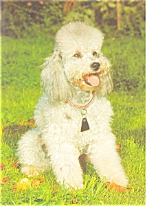 French Poodle   Postcard (Image1)