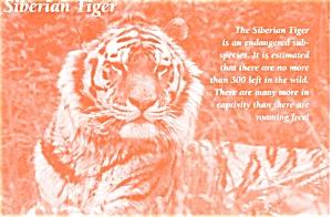 Siberian Tiger Postcard n0596 (Image1)