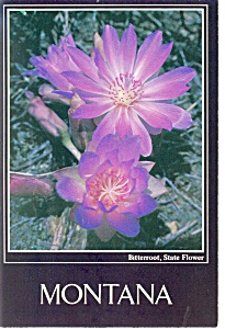 Bitterroot,State Flower of Montana Postcard (Image1)