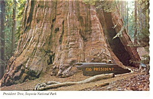 President Tree, Sequoia National Park Postcard (Image1)