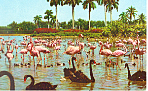 Flamingos at Hialeah Race Track Florida Postcard n1047 (Image1)
