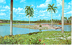Flamingos at Hialeah Race Track Florida Postcard n1048 (Image1)
