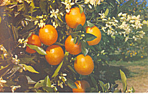 Florida Oranges and Blossoms Postcard (Image1)