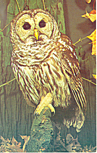 Barred Owl Postcard (Image1)