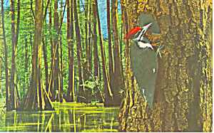 Pileated Woodpecker Postcard (Image1)