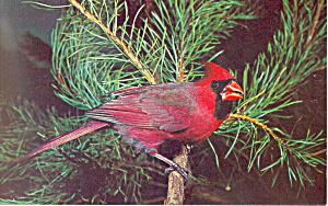 Cardinal Postcard (Image1)