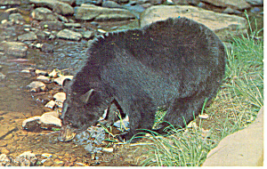Black Bear  Postcard 1965 (Image1)