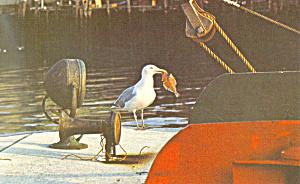 Seagull, Cape Cod, MA Postcard (Image1)