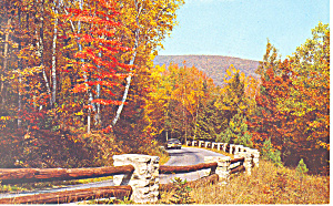 White Birch And Maples Postcard N1174