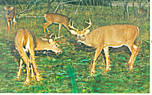 Two Bucks Squaring Off Postcard n1196 (Image1)