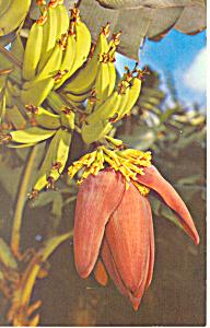 A Banana Blossom (Image1)