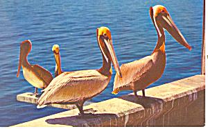 Pelicans-A Most Peculiar Bird Postcard n1231 (Image1)