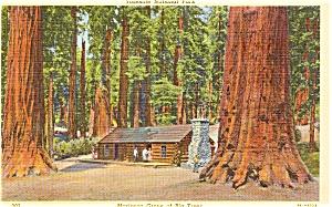 Yosemite National  Park Mariposa Grove CA Postcard p0395 (Image1)