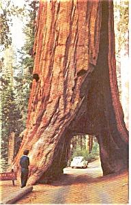 Yosemite National  Park CA Drive Thru Tree Postcard p0401 (Image1)