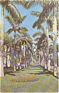 Palm Tree Lined Avenue In Fl Postcard P0882