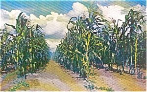 Field of Corn Morrisville PA Postcard (Image1)