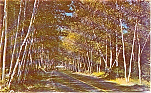 Birch Lined Highway Scene Postcard P1023