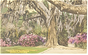 Charleston Sc Magnolia Gardens Hand Colored Postcard N0702