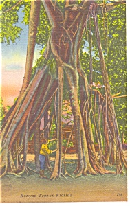 Banyan Tree In Florida Postcard P10381
