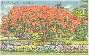 Miami,Florida Royal Poinciana Tree Postcard p10385 (Image1)