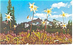 Mt Rainier, WA, Avalance Lily Postcard 1956 (Image1)