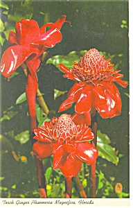 Torch Ginger Florida Postcard p10790 1966 (Image1)
