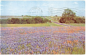 Bluebonnets State Flower of Texas Postcard 1957 (Image1)