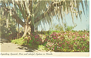 Florida Spanish Moss and Azaleas Postcard p11153 (Image1)