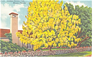 Golden Shower Tree Miami Florida Postcard p11199 (Image1)