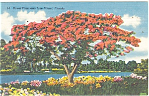 Miami Fl Royal Poinciana Tree Postcard P11259